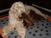 Pimpernel en puppies - 10 dagen