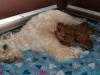 pups-1-week-18
